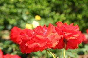 Rose_2_2